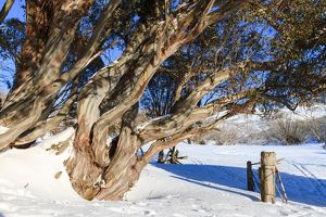 Gnarled old snow gums and gate