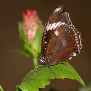Great common Eggfly