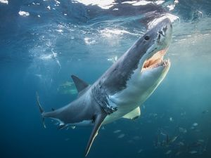 Great white shark with open jaws