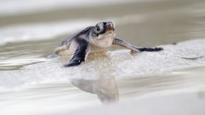 Green Sea Turtle Baby
