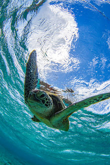 Green turtle swimming in a ocean