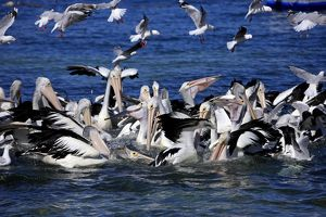 Group of adult Australian Pelicans hunting
