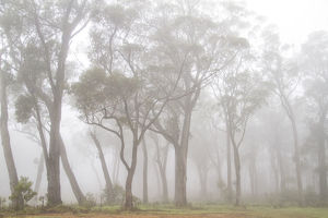 Gum trees in the fog