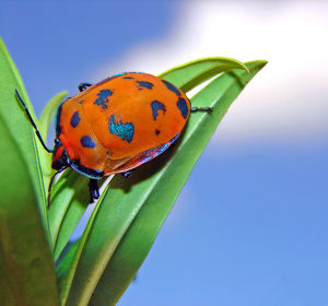 Harlequin Bug on a leaf with the sky in the backgr