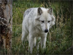 High country Grey Wolf.