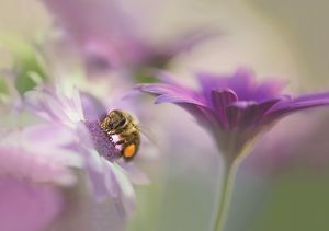 Honey bee in pastel flowers