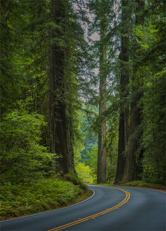 The Humbolt Redwood forest state reserve California.