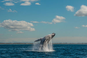 Humpback whales in the sunshine