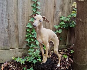 Italian greyhound puppy dog sitting on a treestump