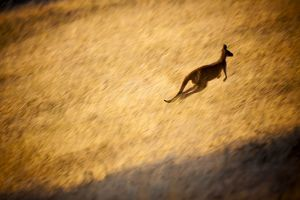 Kangaroo Hopping in Grass