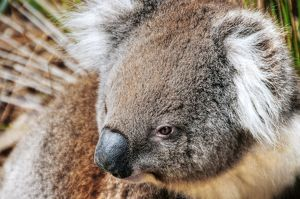 The Koala - Australia Best Known Icon