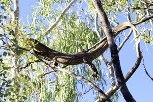 Large lizard in a gumtree