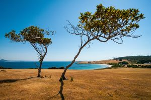 Lonely Trees on Maria Island