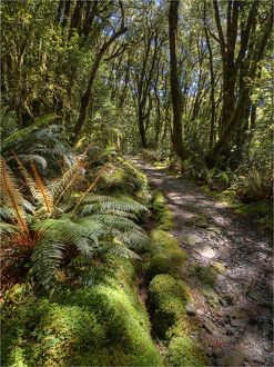 The Milford Track Rain Forest