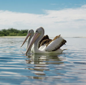A Pair of Pelicans in Sync on the Water