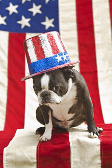 Patriotic Boston terrier dog in hat posing with American flag