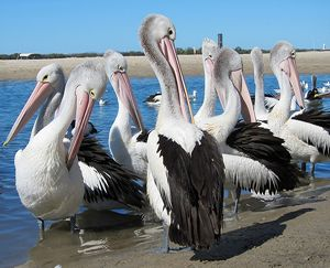 Pelican Group Preening