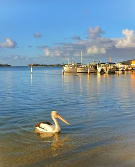 Pelican in the Noosa River