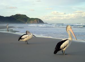 Pelicans on beach at sunset