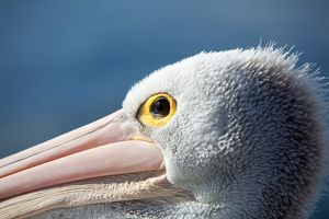 Pelicans, close-up