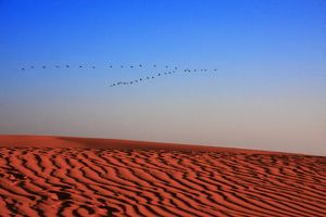 Pelican's Flying over Sand Dunes