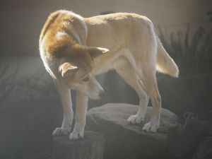 Portrait of dingo (Canis dingo) in sunlight