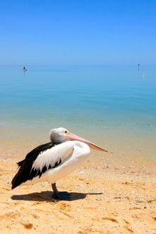 Relaxing pelican