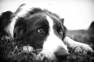 Resting Border Collie (Black & White)