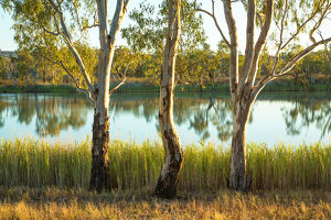 Three river gums