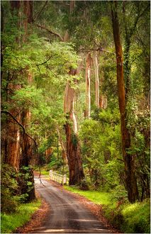 Road into the forest in the Yarra Ranges, Victoria, Australia,