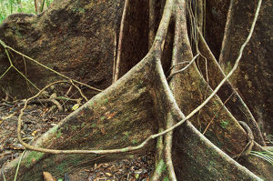 Roots of Rainforest Giant Tree, Daintree National Park, Queensland, Australia