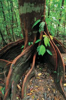 Roots of rainforest giant tree, Mossman Gorge, Daintree National Park, Queensland