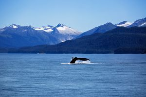 The Sailing of a Humpback Whale and Display of its Tail in Juneau, Alaska, United