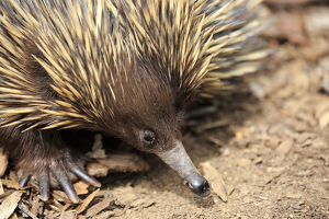 Schnabeligel, (Tachyglossus aculeatus)