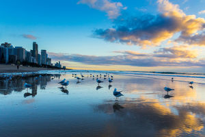 Seagulls on the beach of Gold Coast, Australia, with skyscrapers