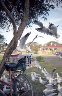 Seagulls around bicycle