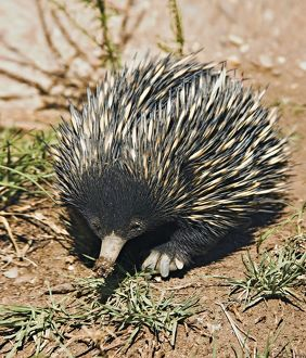 Short-Beaked Echidna sometimes known as spiny anteaters