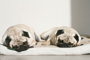 Sleeping pug dogs