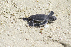 Small sea turtle on beach