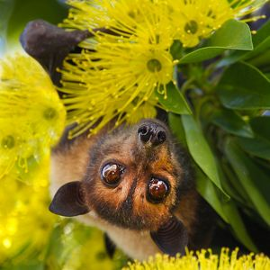 Spectacled flying fox (Pteropus conspicillatus)