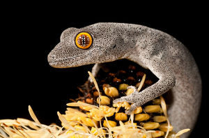 Spiny-tailed Gecko on Banksia