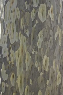 Spotted gum tree trunk, Australia