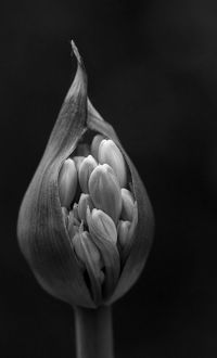 Agapanthus or Lily of the Nile flower opening up in black and white