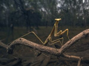 Stick insect on branch at dusk in Australian outback bush