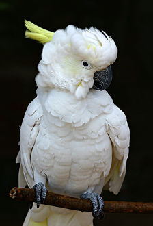Sulphur crested cockatoo perched on a twig