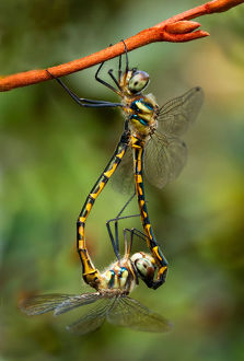Sydney Hawk Dragonflies mating