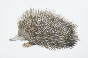 Tachyglossus aculeautus, Short-nosed Echidna, side view