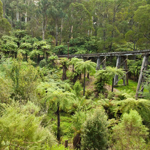 Temperate rainforest of Dandenong Ranges