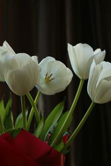 Tulips in colour