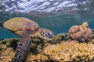 Turtle on coral reef